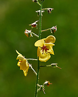 Verbascum blattaria - Moth Mullein. Image taken with a Fuji X-H1 camera and 80 mm f/2.8 macro lens