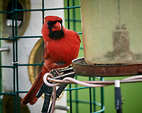 Northern Cardinal. Image taken with a Nikon D5 camera and 600 mm f/4 VR lens (ISO 1600, 600 mm, f/5.6, 1/320 sec).
