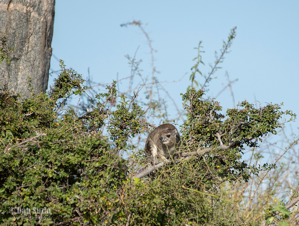 Yellow-spotted Rock Hyrax, Heterohyrax brucei, stands on a branch in Serengeti National Park, Tanzania.