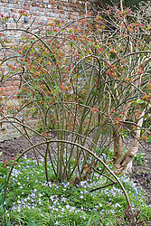 Pruned and trained rose underplanted with Ipheion 'Wisley Blue' at Sissinghurst Castle Garden in spring. Rosa 'Constance Spry'