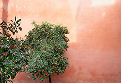 Orange tree with wall in background