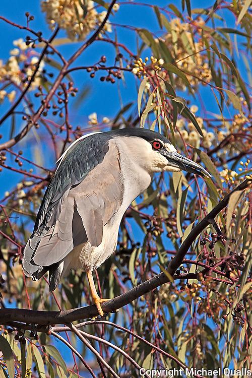 Black Crowned Night Heron in his tree perch.