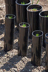 Carrots grown in plastic drainpipes to encourage straight growth