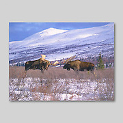 Alaska. Two bull moose fighting and sparring with their antlers (Alces alces) in winter. They fight both with their antlers and their hoofs. Fierce clashing of antlers is not uncommon.