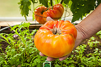A gardener holds a giant organically grown Gold Medal Tomato.