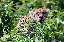 A female Cheetah is seen in Ndutu area of Southern Serengeti National Park in Arusha Region, Tanzania, on August 25, 2019. Photo by Emy/ABACAPRESS.COM