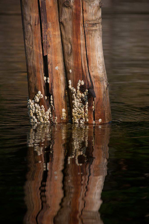 Barnacle-Encrusted Old Pilings, Holbrook Island, Maine, US