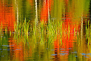 Cattails with birch trees and autumn colored maples reflected in a lake<br /> Baysville<br /> Ontario<br /> Canada