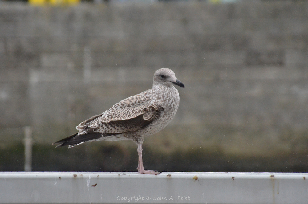 A seagull along the river Liffey in Dublin, Ireland.  He didn't seem to mind the sudden downpour.