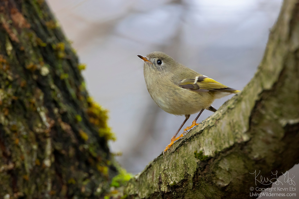 A ruby-crowned kinglet (Regulus calendula) searches for insects while briefly perched on the fork of an elm tree in Snohomish County, Washington. Ruby-crowned kinglets are very small birds with a length of about 4 inches (10 centimeters) and a wingspan of about 6 inches (16 centimeters). They typically weigh just 5 grams (0.2 oz), which is about the weight of a U.S. quarter dollar coin.