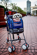 Dog in a baby buggy in the city centre of Tokyo. Tokyo has 13.01 million inhabitans, is the Japanese capital and the largest city in Japan. Tokyo, Japan, 23.10 2010.