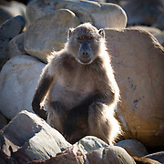 A baboon on the boulder beach at Cape of Good Hope, South Africa.