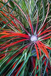 Fascicularia bicolor - Crimson bromeliad