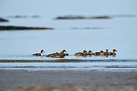 Flock of Common Eider, Crescent Beach, Nova Scotia, Canada,