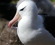 Portrait of a black-browed albatross (Thalassarche melanophris). Saunders Island, Falkland Islands.