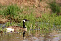 09 April 2005:   A Canadian Goose floats close to shore using some short water grass for cover and protection.