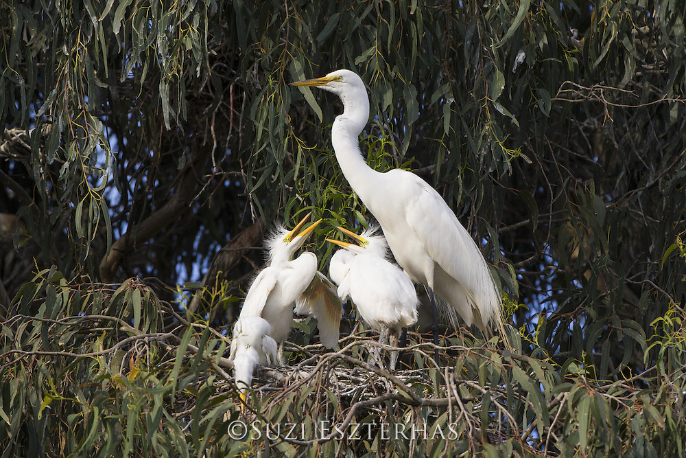 Great Egret <br /> Ardea alba<br /> Parent and four-week-old chicks in nest<br /> Sonoma County, California