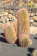 Ferocactus Stainesii Var. Pilosus, Jardin de Cactus designed by César Manrique, Guatiza, Lanzarote, Canary Islands, Spain