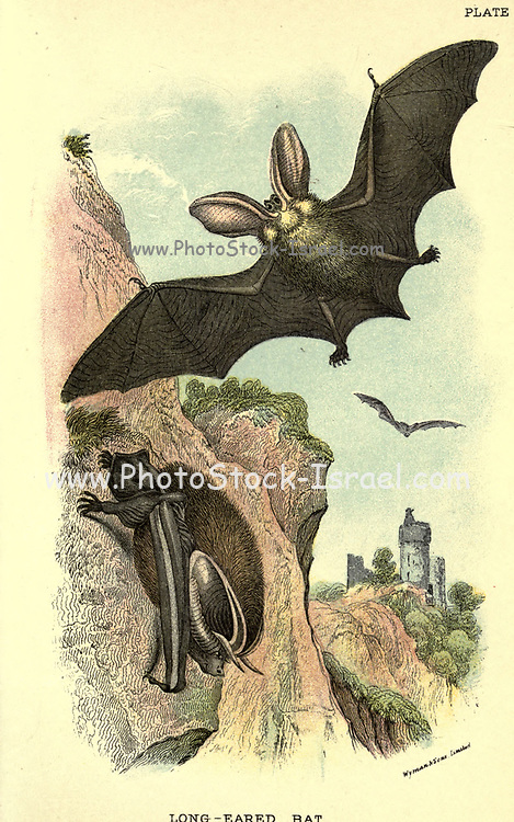 Long-eared Bat (Plecotus auritus) From the book ' A hand-book to the British mammalia ' by  Richard Lydekker, 1849-1915  Published in London, by Edward Lloyd in 1896