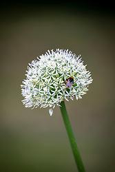 Allium stipitatum 'White Giant' with bumblebee