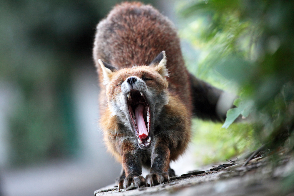 Urban Red fox yawning in a Bristol Garden during the day.