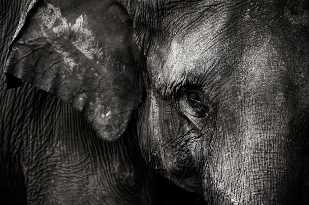 Asian Elephant Eye, Sri Lanka 2009