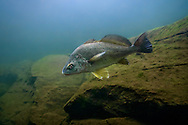 Freshwater Drum<br /> <br /> Isaac Szabo/Engbretson Underwater Photography