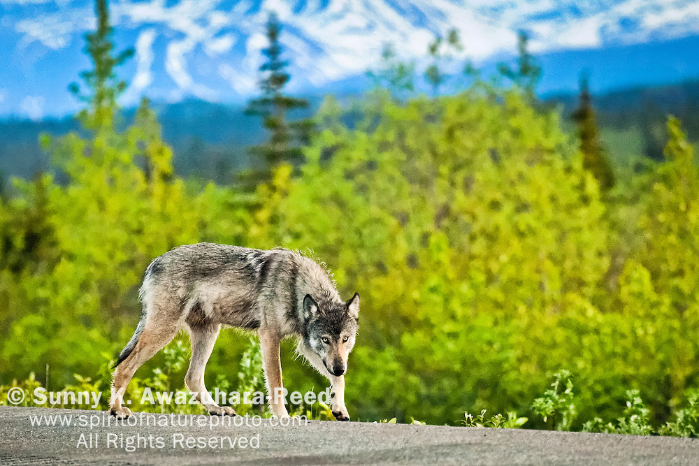 Gray Wolf walking along George Parks Hwy. The snowy Alaska Range is in the background. Interior Alaska, Summer.