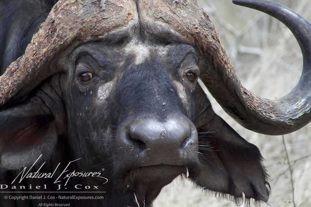 Cape buffalo, large bull, Malamala Game Reserve, South Africa.