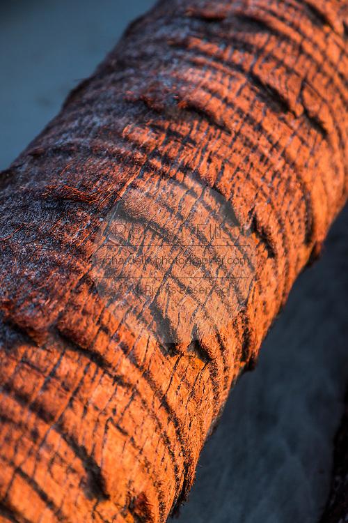 Palmetto driftwood log washed up on Boneyard Beach Bulls Island, South Carolina. Bulls Island is a Sea Island 3 miles off the mainland and part of the Cape Romain National Wildlife Refuge.