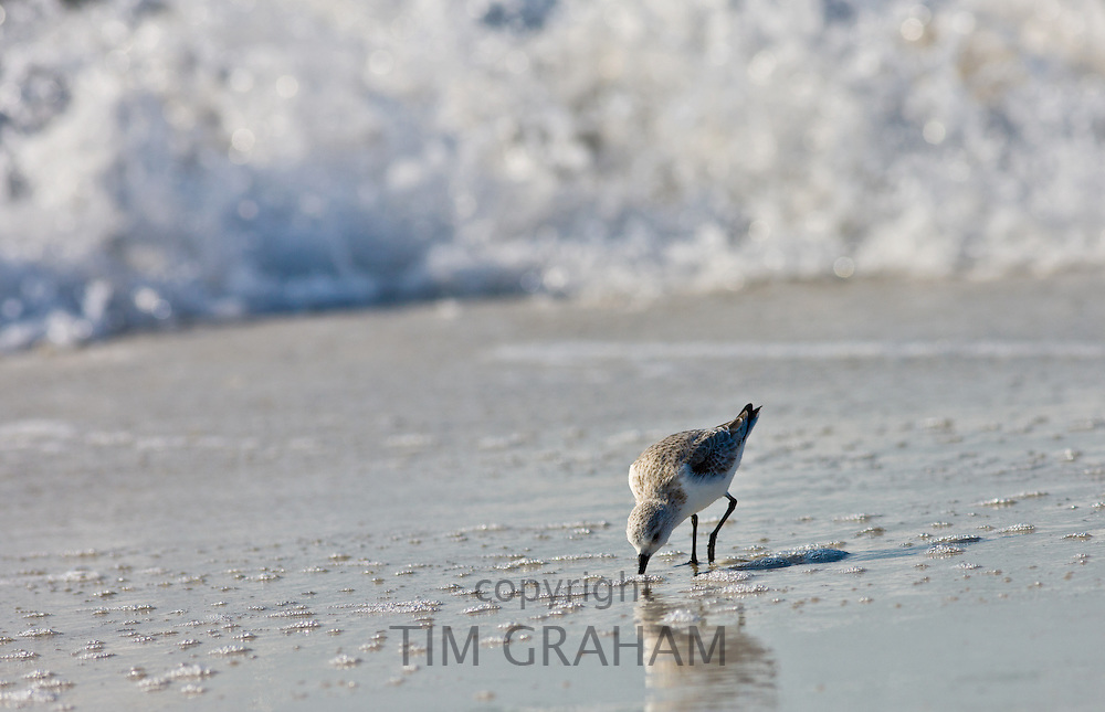 Sanderling bird, Calidris alba,  feeding on shoreline at Anna Maria Island, Gulf of Mexico,  Florida, USA