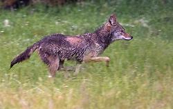 May 26, 2019 - Elkton, OREGON, U.S - On a damp early morning, a wild coyote runs through a pasture on a sheep farm in rural western Oregon near Elkton. (Credit Image: © Robin Loznak/ZUMA Wire)