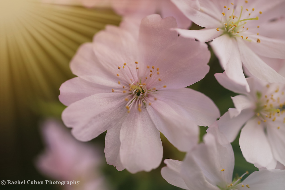 """""""Sakura Bloooming""""<br /> <br /> Lovely Japanese Cherry blossoms with streams of sunbeams!"""