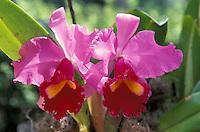 Orquidea fucsia, Cattleya
