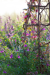 Pot at Perch Hill with Rhodochiton atrosanguineus ( Purple bell vine) growing up a birch tripod with salvias around the base including Salvia greggii 'Blue Note' and Salvia 'Dyson's Gem'