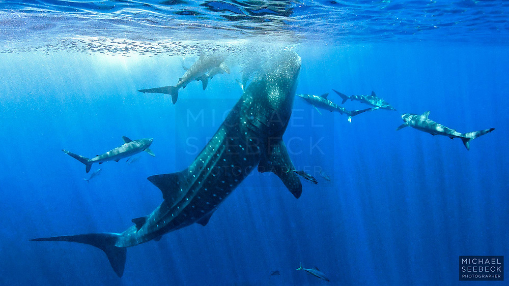 A whale shark (Rhincodon typus) surrounded by silky sharks (Carcharhinus falciformis) while attempting to feed on baitfish in Indian Ocean waters off Christmas Island.<br /> <br /> Code: WAIX0001<br /> <br /> Open Edition Print / Stock Image