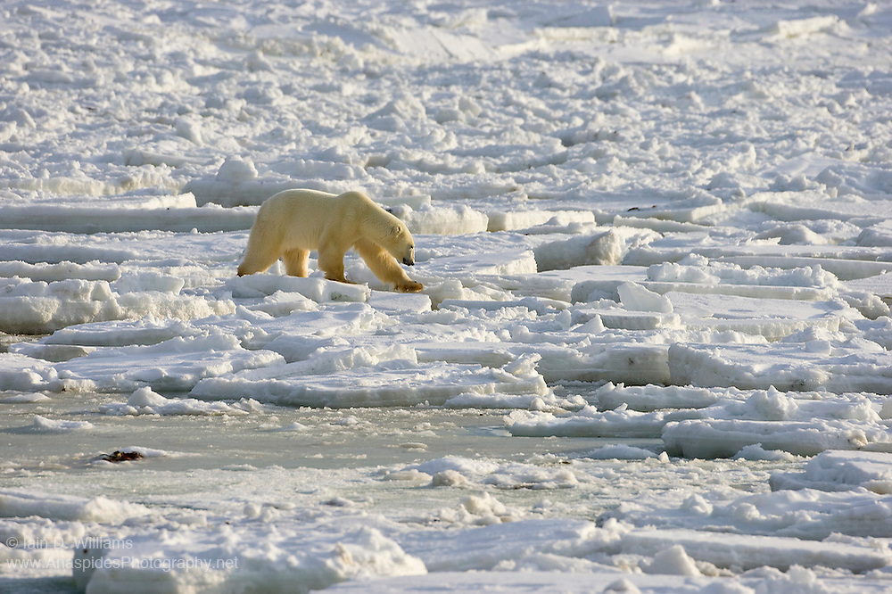 A long adult polar bear negotiates the thin sea ice as it begins to form off the coast of Hudson bay in Canada