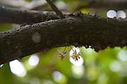 Cacoa treeVaipaee Community Botanical Garden, Ua Huka, Marquesas Islands, French Polynesia<br />