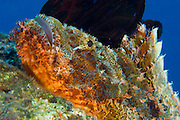 Papuan scorpionfish (Scorpaenopsis papuensis), orange red in color lying on a reef, head view, Kimbe Bay