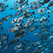 Large school of black and white snappers (Macolor niger) patrolling just off the reef at the Blue Corner dive site in Palau