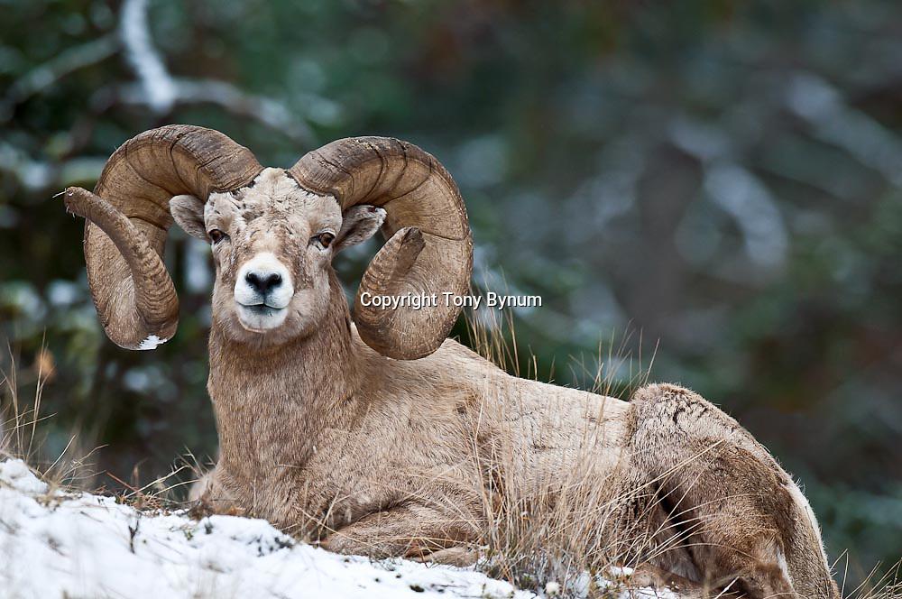 huge make ram bedded in snow tall grass