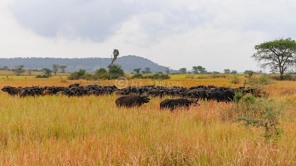African buffalos in the long grass of the savannah in Queen Elizabeth National Park, Uganda.