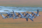 A flock of barnacle geese (Branta leucopsis) take flight in wetlands near the town of Höfn, Iceland. Barnacle geese typically use Iceland as a migratory stop as they travel between their wintering grounds in Great Britain and their breeding grounds in Greeland, although growing numbers of the birds are now nesting in Iceland as well.