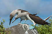 Blue-footed booby courtship (Sula nebouxii excisa)<br /> Punta Cevallos, Española or Hood Island Island<br /> GALAPAGOS ISLANDS<br /> ECUADOR.  South America<br /> By far the least common of the three booby species in Galapagos but the Blue-footed boobies are the most commanly seen as their small colonies are spread throughout the archipelago. They nest close to shore on flat areas. The nests are relatively closely spaced, but consist of nothing more than a shallow scrape in the ground. They have less than an annual breeding cycle and different colonies can be found breeding around the archipelago throughout the year. Their courtship antics are entertaining. In trying to attract a mate the male actually dances. If a female is attracted to him she will join him and together they will dance the 'booby two step'. Sexes are differentiated by the eyes. Males appear to have smaller pupils than females. (females have a darkly stained iris giving the impression of a larger pupil) The female is also larger and her voice is distinct - a honk while the male whistles. They are inshore feeders and are able to dive in shallow water. As they feed close to shore it is feasible for the parent birds to return with food sufficient for three chicks so in a good year they may raise up to three.