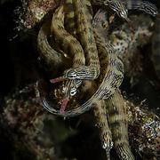 Dragonface or Network pipefish gathered at night on a coral ledge; (Corythoichthys haematopterus) Batasan MPA; Danajon Bank, Bohol, Philippines; © Michael Ready