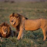 African Lion, (Panthera leo) Pair of mature males. Masai Mara. Kenya, Africa.