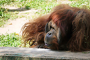 Orangutan, Pongo pygmaeus close up