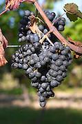 Bunches of ripe grapes. Domaine des Baumard, Rochefort, Anjou, Loire, France