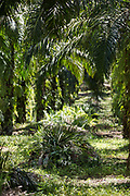 Neat stacks of palm palm fronds and lush ground cover indicate a well-managed small family plot in Beluran District, Sabah, Malaysia, on 7 September 2016. This family has been able to increase their yields since becoming part of the Wild Asia Group scheme, which works with the Roundtable on Sustainable Palm Oil to support Malaysian smallholders to become certified sustainable. This includes improving farm management, reducing their use of pesticides and fertilizers, and increasing yields. Smallholders account for 40% of global palm oil production, and as such play an important role in increasing sustainability within the industry.