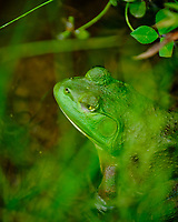 Kermit the One-eyed Bullfrog. Image taken with a Fuji X-T2 camera and 100-400 mm OIS lens